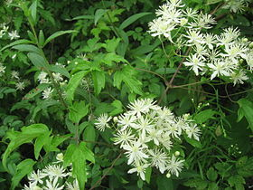 280px-Clematis_apiifolia_5.jpg
